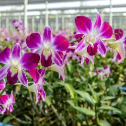 Siriphon Orchid Farm