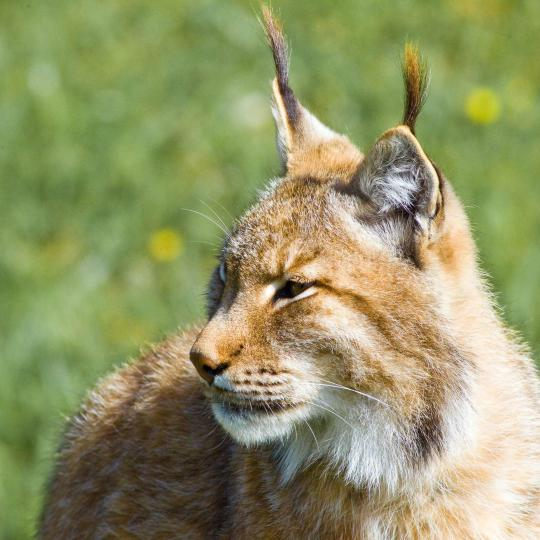 Lynx in Doñana National Park