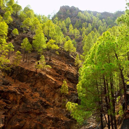 Сосновый лес Тамадаба