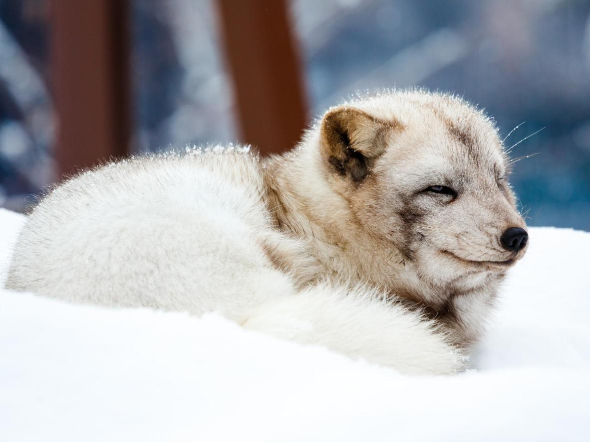 Just like this arctic fox, make sure you dress for the cooler temperatures