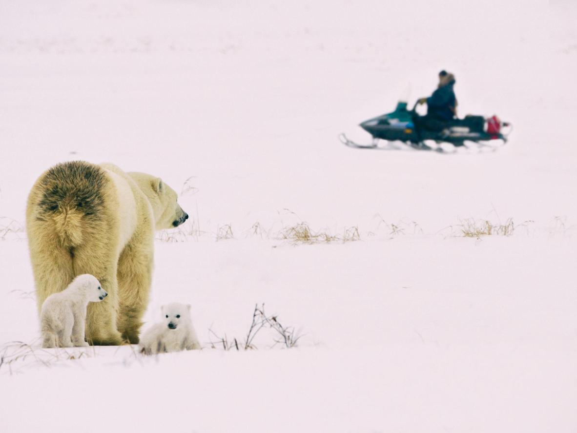 Get a shot of a polar bear for your feed