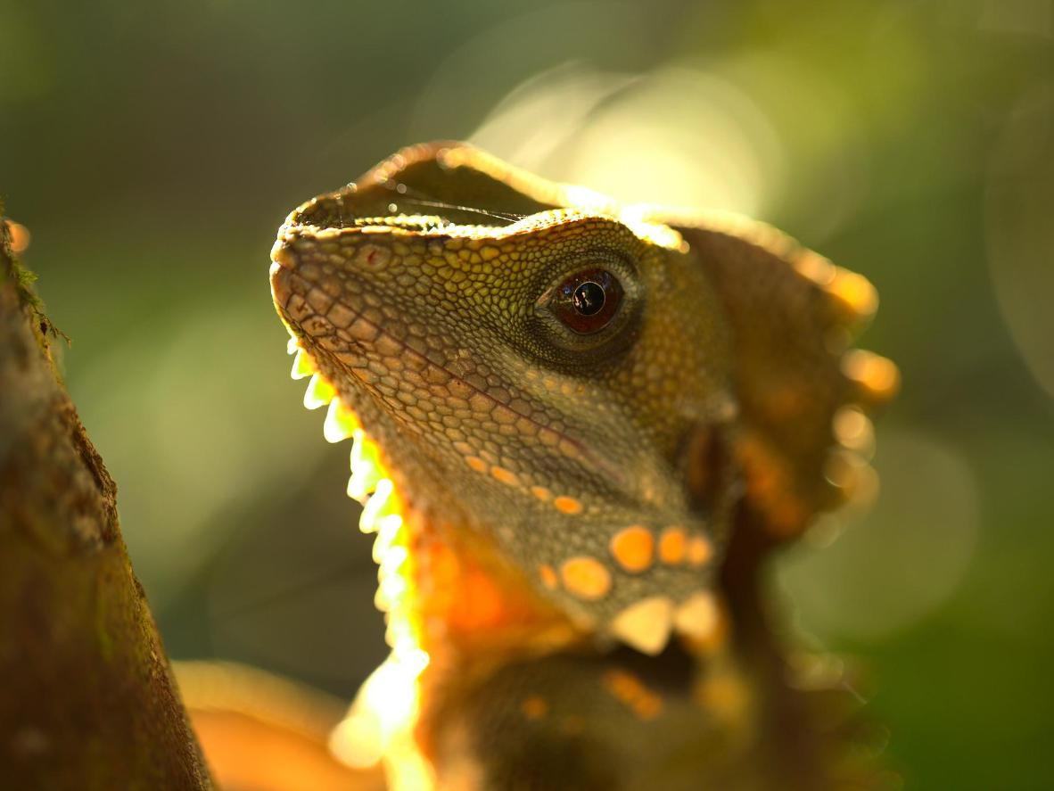 A Boyd's Forest Dragon at The Daintree Ntional Park