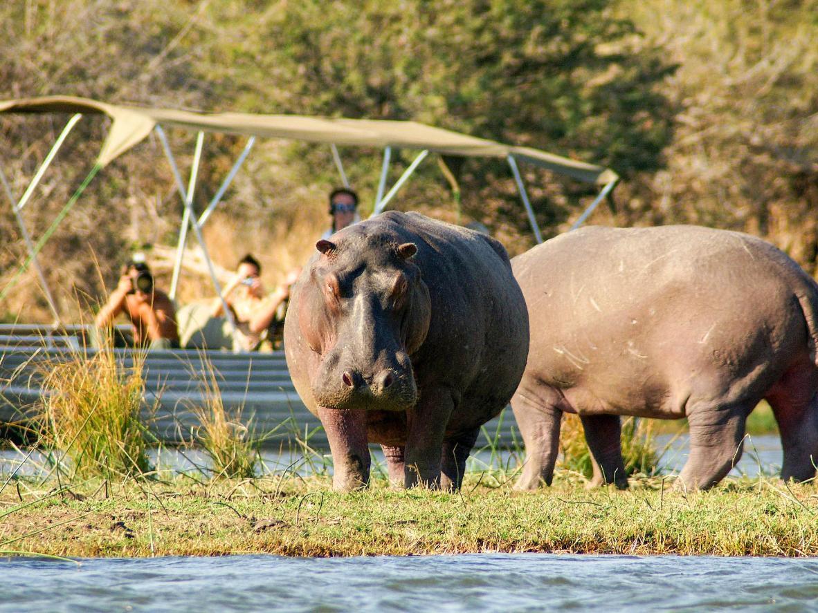 A hippopotamus in the midday sun