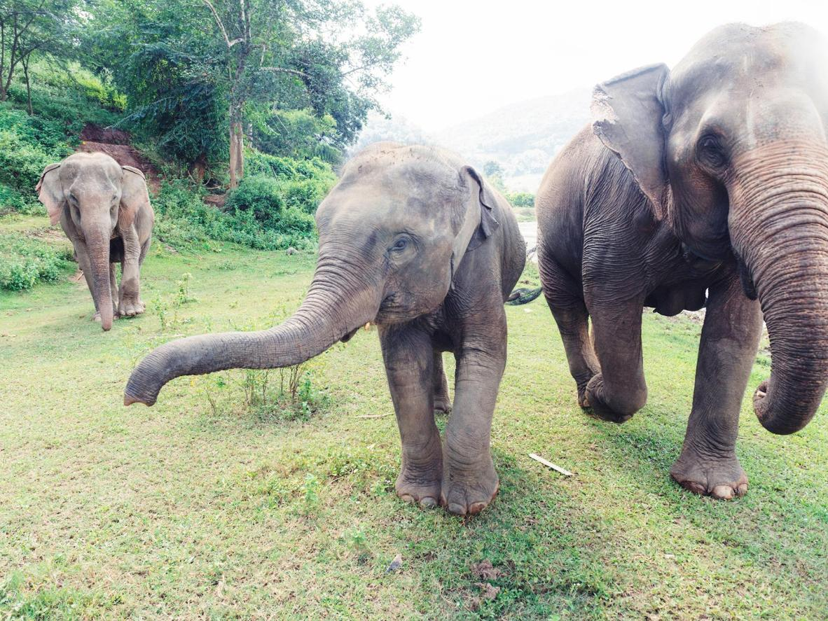 Rehabilitate elephants and help communities establish new income in Thailand