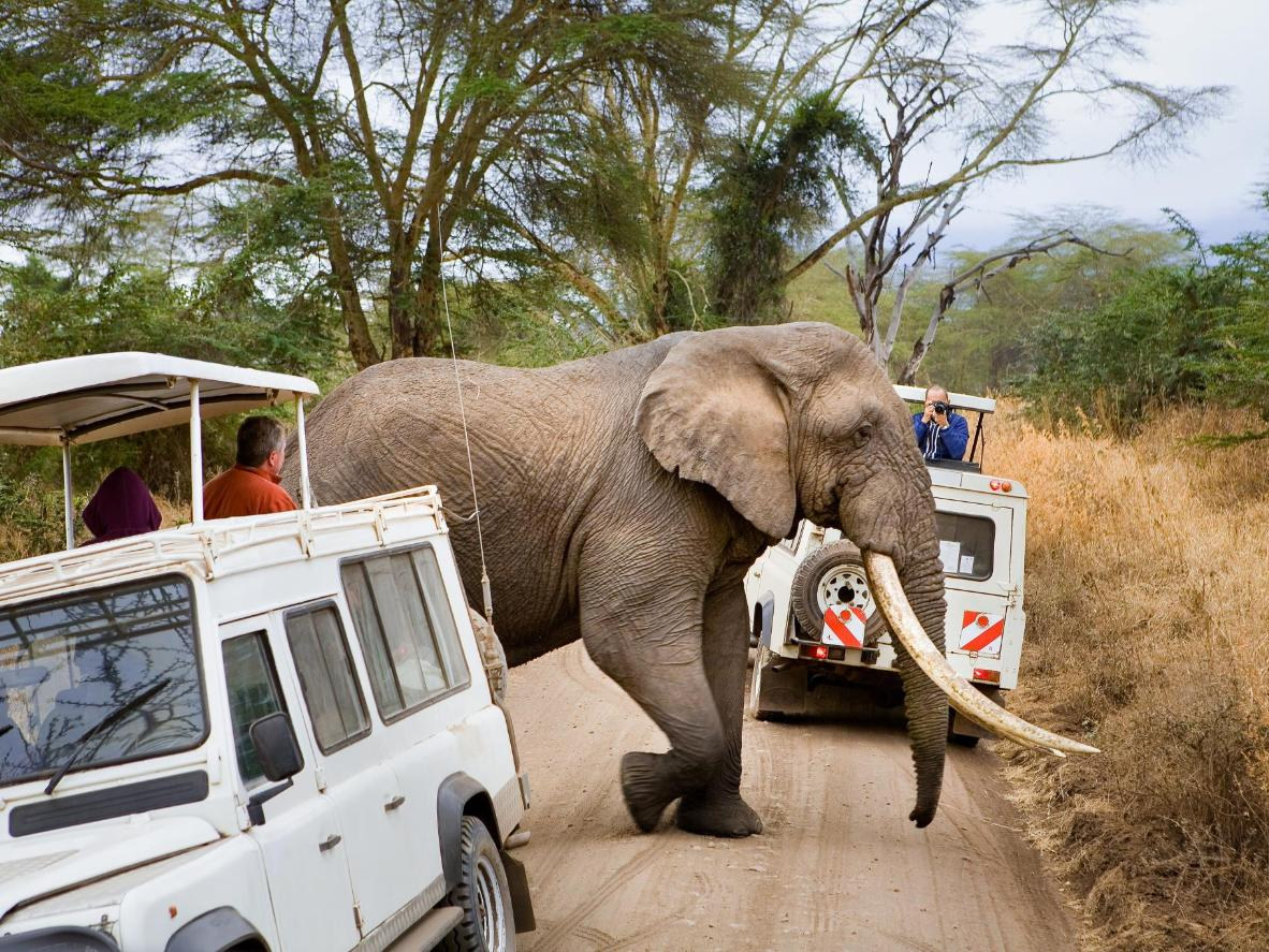 An elephant walks between two safari vehicles