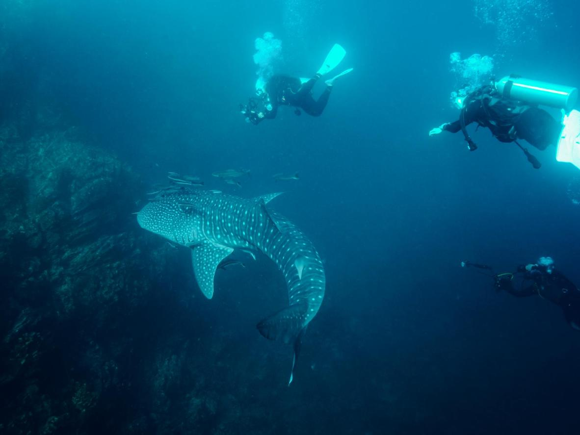 Keep your eyes peeled for whale sharks in Ko Tao