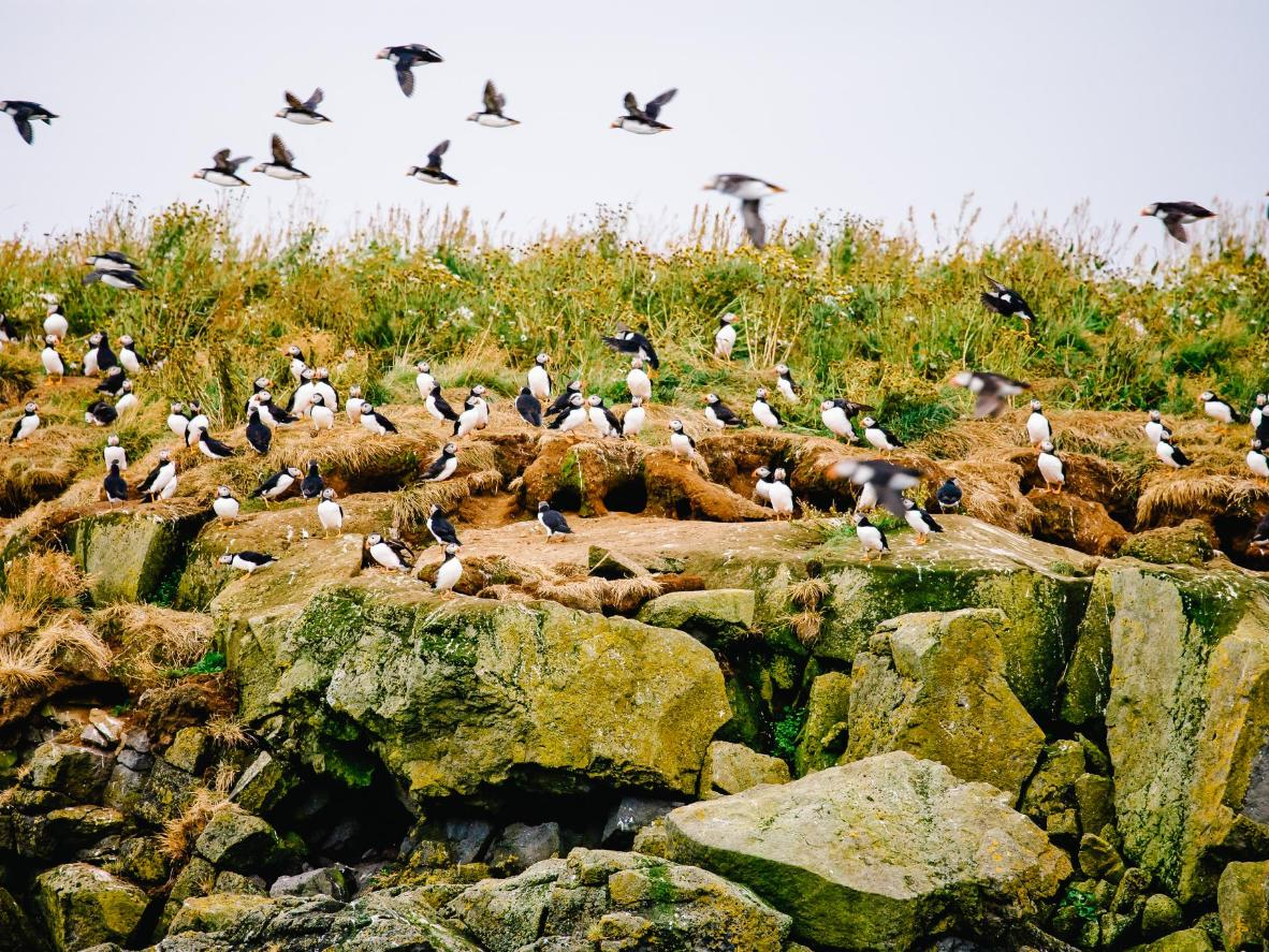Puffins and pufflings in Iceland