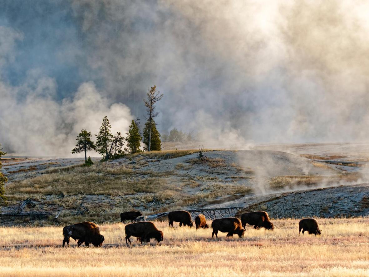 Contempla todo tipo de fauna salvaje en el parque nacional de Yellowstone