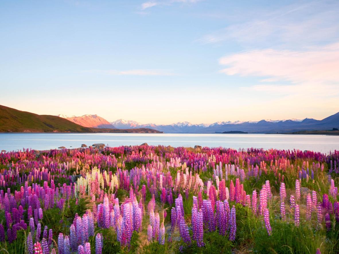 Una franja de flores silvestres de lupino púrpura alinea el lago Tekapo
