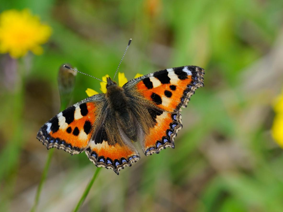The small tortoiseshell can be seen as early as March