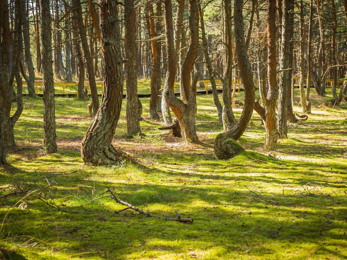 The Dancing Forest at Curonian Spit