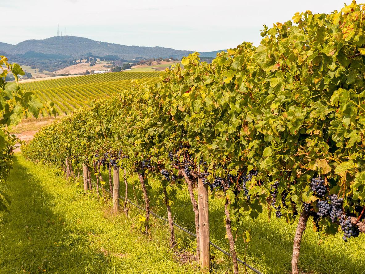 The cooler temperatures in Orange make it ideal for wine growing