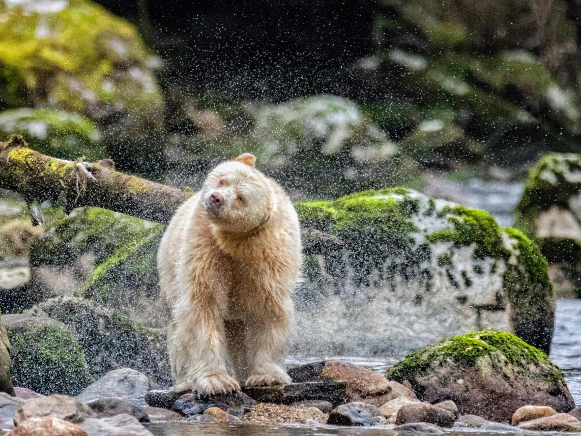 The Kermode bear is a rare breed only found in the Great Bear Rainforest