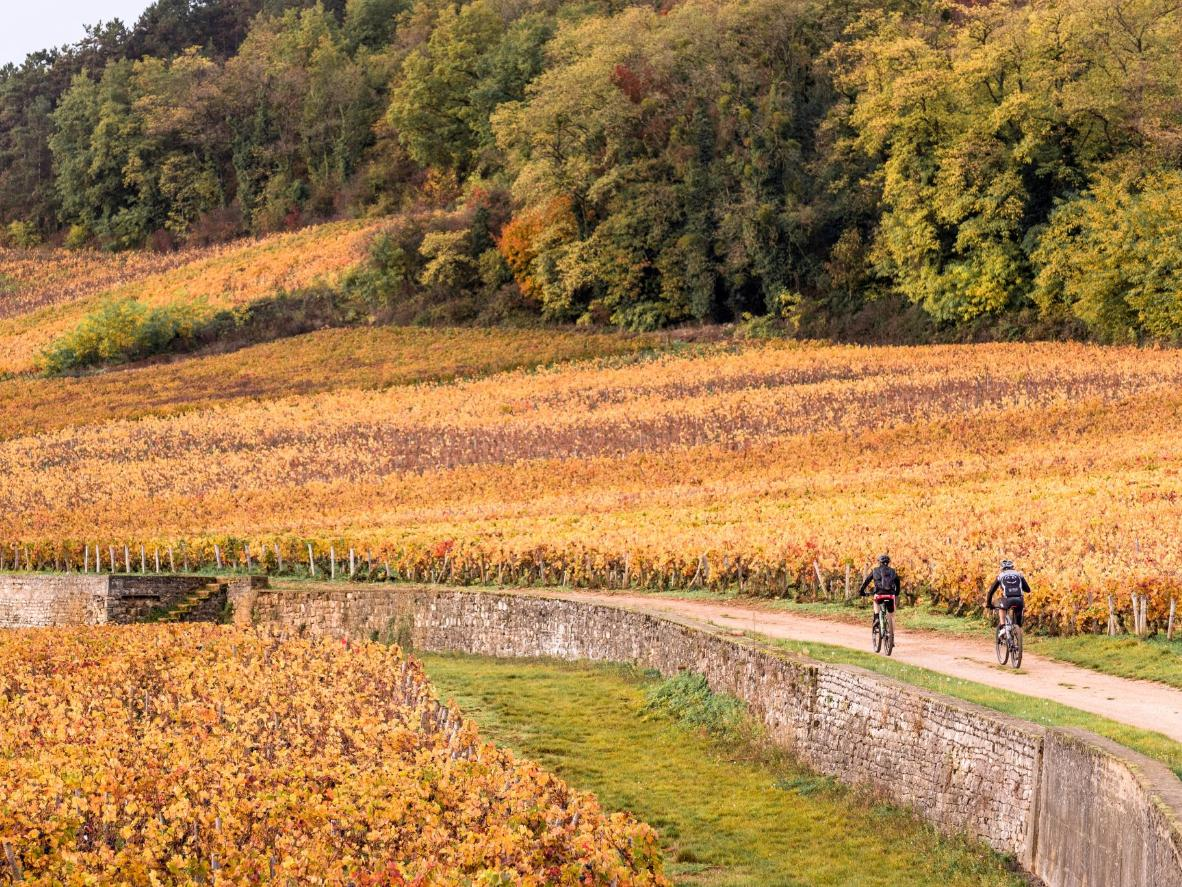 Cycle through the golden fields of Nuit-Saint-Georges