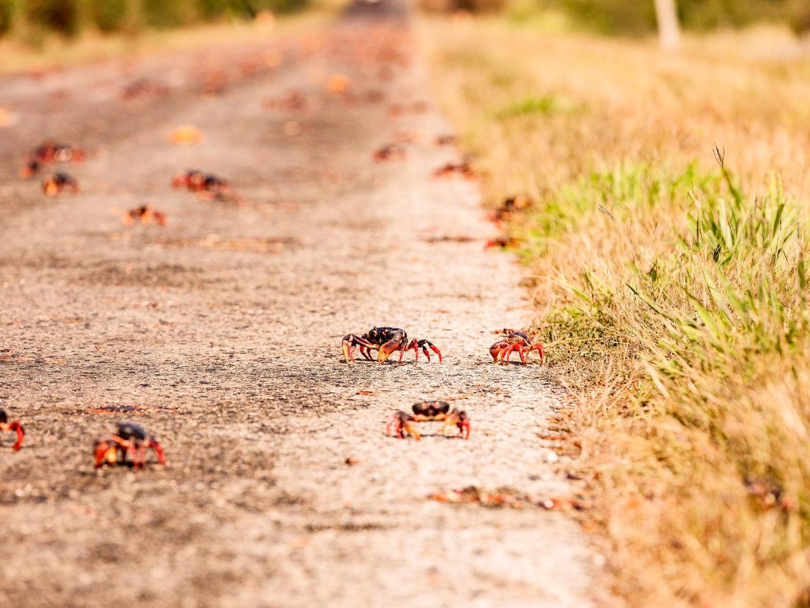 Millions of vermillion-coloured crabs create a scuttling carpet in this annual Christmas Island ritual