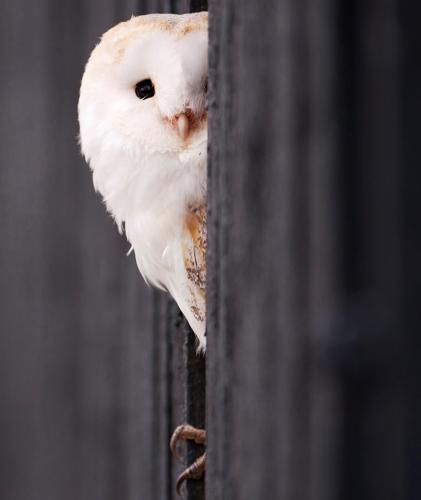 Slikovni rezultat za white owl