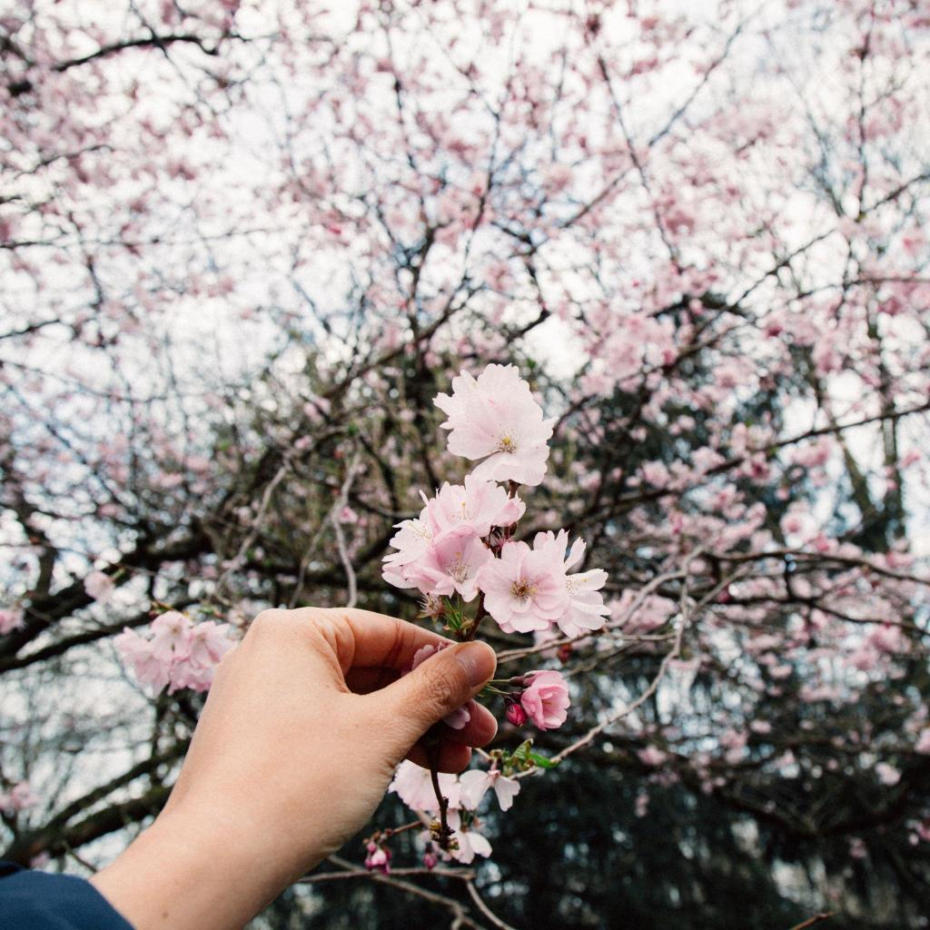Cherry blossom flourishes in Amstelpark