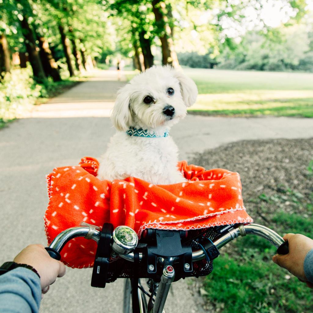 Dogs are regularly carted around Amsterdam in bike baskets