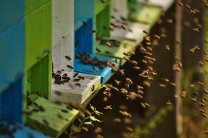 Sleeping with the bees Kozjak pozimi