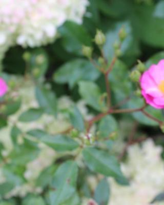 Lavenderdream