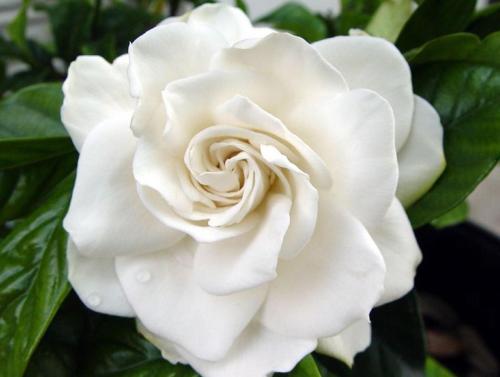 Sisi, fleur Gardenia